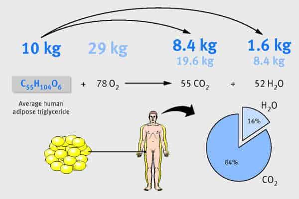 Perte de poids de grammes de graisse